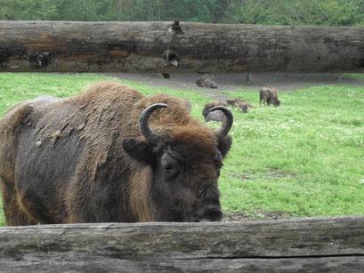 In Rumänien existieren noch wildlebende Wisente.