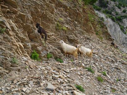 Ziegen im Fels