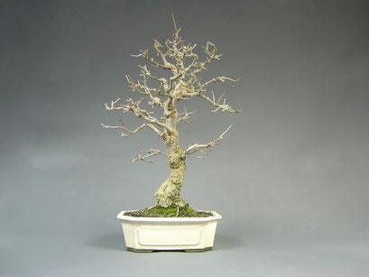Schmalblättrige Esche, Fraxinus angustifolia, Bonsai - Solitär, Outdoor - Bonsai, Freilandbonsai