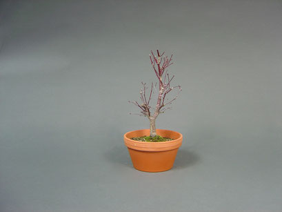 Fächerahorn, Acer palmatum ´deshojo´, Japan, Outdoor - Bonsai Rohling