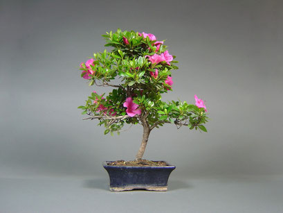 Satsuki - Azalee, Rhododendron indicum, Outdoor - Bonsai, Freilandbonsai