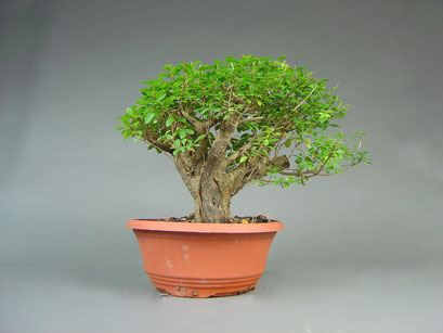 Liguster, Ligustrum, Bonsai Yamadori, Outdoor-, Freilandbonsai