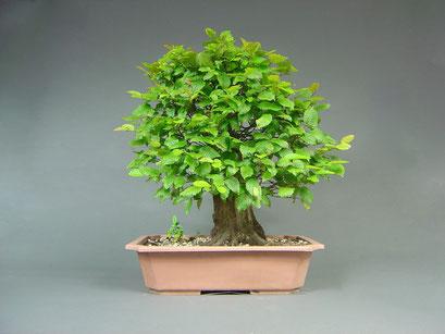 Hainbuche, Carpinus betulus, Bonsai Yamadori, Outdoor-, Freilandbonsai