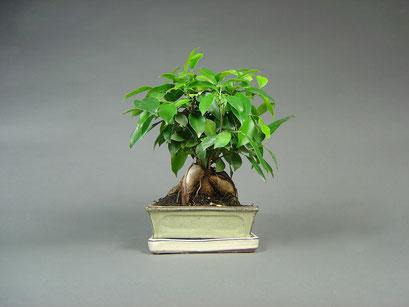 Chin. Feige, Ficus ginseng, Zimmerbonsai / Indoorbonsai