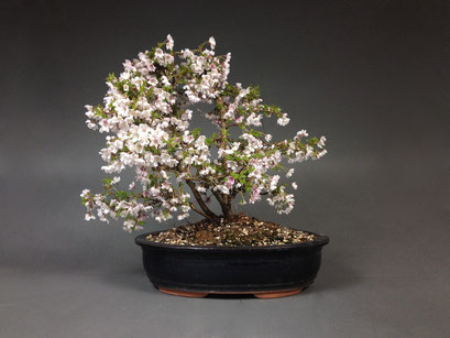 Zierkirsche, Prunus incisa ´Kojou-no-mai´Outdoor - Bonsai, Freilandbonsai