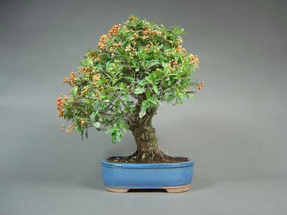 Feuerdorn, Pyracantha coccinea, Bonsai - Solitär, Outdoor - Bonsai, Freilandbonsai