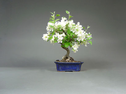 Zierapfel, Malus, Outdoor - Bonsai, Freilandbonsai