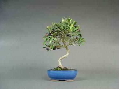 Olivenbaum, Olea europaea mit Fruchtansatz, mediterraner Bonsai