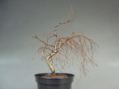 Zwerg Hängebirke, Betula pendula, Outdoor - Bonsai, Freilandbonsai, Rohling