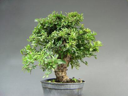 Feuerdorn, Pyracantha coccinea, Bonsai - Rohling