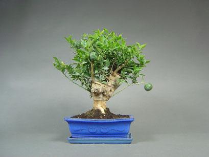 Bitterorange / Chinotto, Citrus myrtifolia, mit Früchten, mediterraner Bonsai