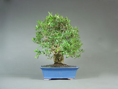 alter Olivenbaum, Olea europaea, mediterraner Bonsai