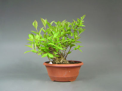 Weigelie, Weigela, Bonsai Yamadori, Outdoor-, Freilandbonsai