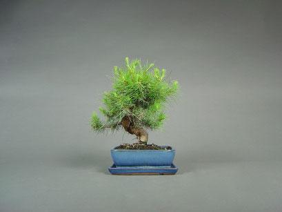 Aleppo - Kiefer, Pinus halepensis, mediterraner Bonsai