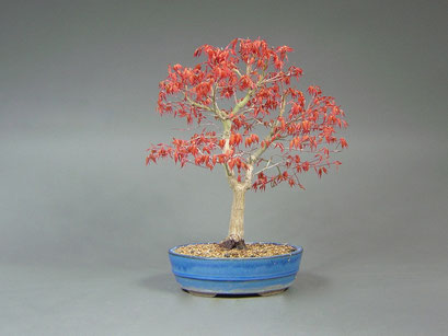 Fächerahorn, Acer palmatum, Outdoor - Bonsai, Freilandbonsai