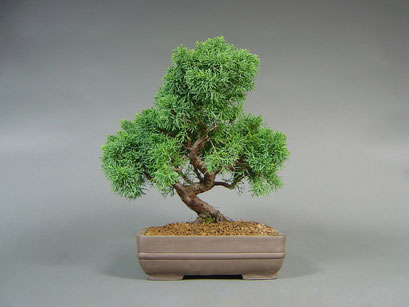Chinesischer Wacholder, Juniperus chinensis, Outdoor - Bonsai, Freilandbonsai