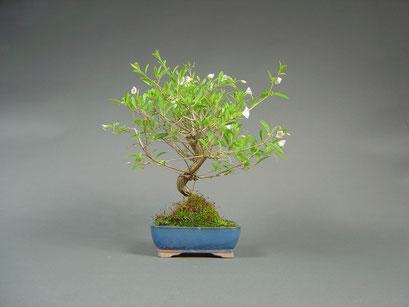 Enzianbaum, Solanum rantonnetii / Lycianthes rantonnetii, seltener mediterraner Bonsai