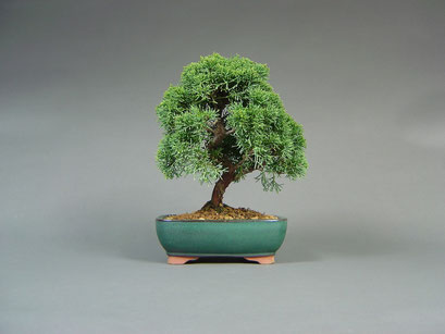Chinesischer Wacholder, Juniperus chinensis, Shohin, Outdoor - Bonsai, Freilandbonsai