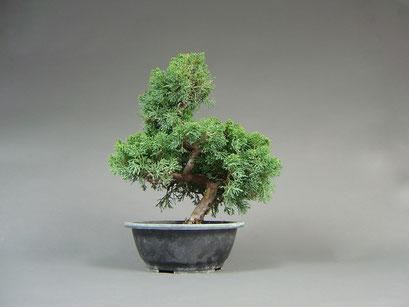 Chin. Wacholder, Juniperus chinensis, Bonsai - Rohling