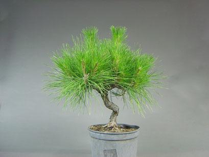 Japanische Schwarzkiefer, Pinus thunbergii, Bonsai - Rohling