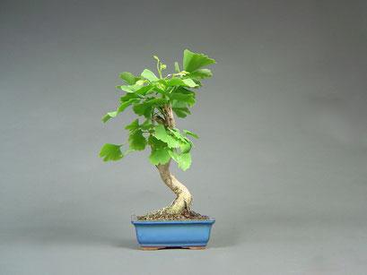 Fächerblattbaum, Ginkgo biloba, Outdoor - Bonsai, Freilandbonsai
