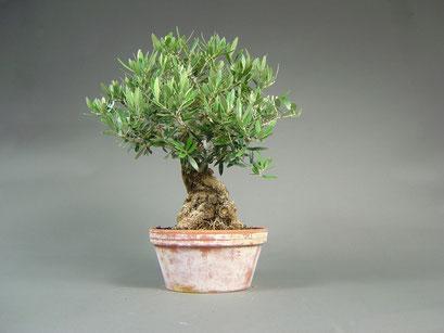 Wilder Ölbaum / Olivenbaum / Olea europaea sylvestris, mediterraner Bonsai, alter Rohling