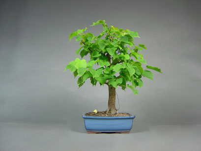 Winterlinde, Tilia cordata, Outdoor - Bonsai, Freilandbonsai