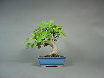 Bonsai Eßfeige, Ficus carica, mediterraner Bonsai