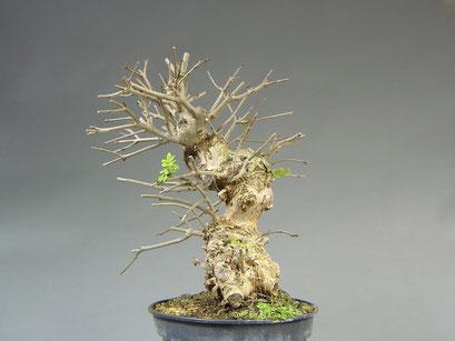 Schmalblättrige Esche, Fraxinus angustifolia, Bonsai - Rohling