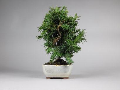 Japanische Eibe, Taxus cuspidata