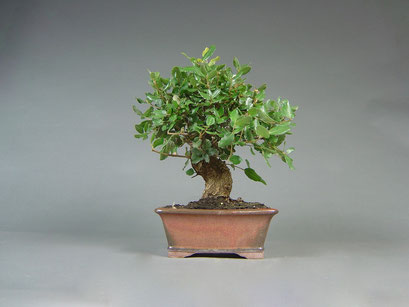 Korkeiche, Quercus suber, mediterraner Bonsai
