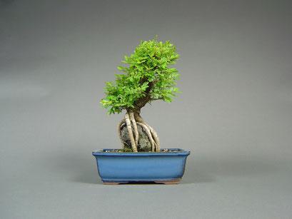 Japanische Ulme / Ulmus japonica, Sekijōju / Bonsai über Stein, Outdoor - Bonsai, Freilandbonsai, Solitär