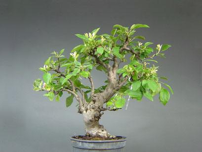 Zierapfel, Malus Bonsai Rohling mit Blüten