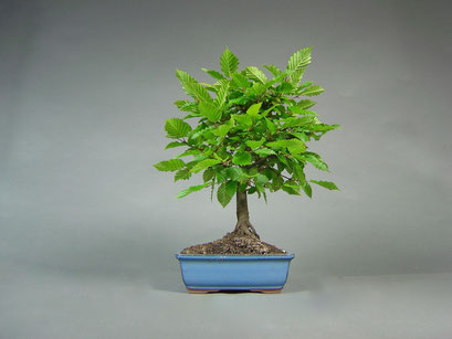 Hainbuche, Carpinus betulus, Outdoor - Bonsai, Freilandbonsai
