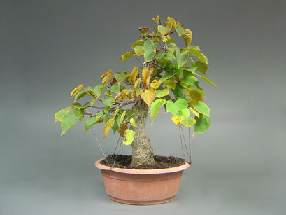 Winterlinde, Tilia cordata Bonsai Rohling