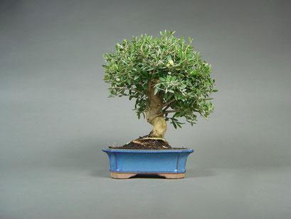 Wildolive, Olea european sylvestris, mediterraner Bonsai