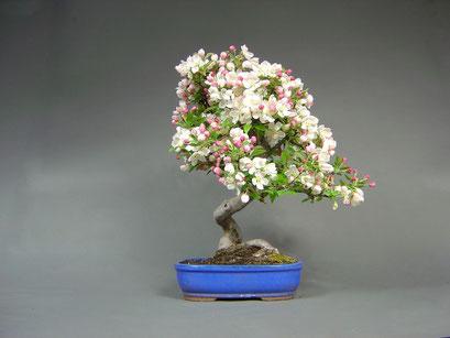 Zierapfel, Malus in der Blüte, Solitär, Outdoor - Bonsai, Freilandbonsai