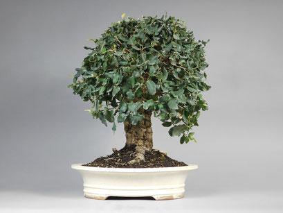 Korkeiche, Quercus suber mediterraner Bonsai