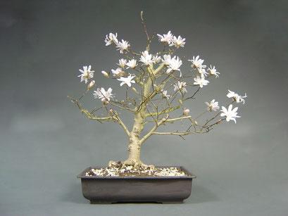 Stern-Magnolie, Magnolie stellata Rohling mit Blüten