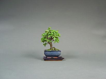 Jadebaum, Portulacaria afra, Zimmerbonsai / Indoorbonsai