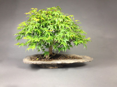 Fächerahorn, Acer palmatum, Solitär, Outdoor - Bonsai, Freilandbonsai