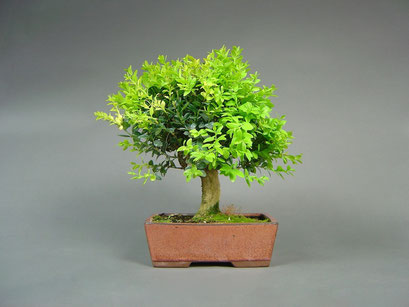 Buchsbaum, Buxus sempervirens, Outdoor - Bonsai, Freilandbonsai