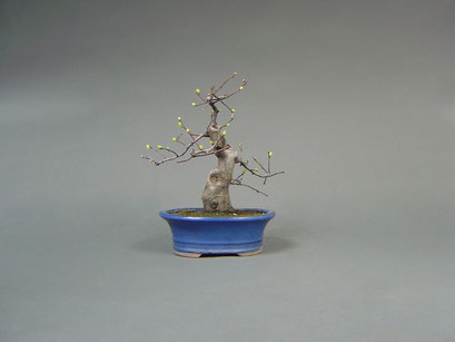 Quitte, Cydonia oblonga, Outdoor - Bonsai, Freilandbonsai, Solitär, Shohin