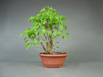 Flieder, Syringa vulgaris, Bonsai Yamadori, Outdoor-, Freilandbonsai