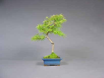 Goldlärche, Pseudolarix, Outdoor - Bonsai, Freilandbonsai