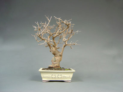 Maulbeerbaum, Morus, Bonsai - Solitär, Outdoor - Bonsai, Freilandbonsai