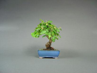 Maulbeerbaum, Morus, mit Frucht, Bonsai - Shohin, Outdoor - Bonsai, Freilandbonsai