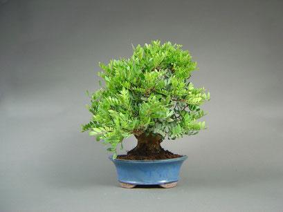 Pistazie, Pistacia lentiscus, mediterraner Bonsai