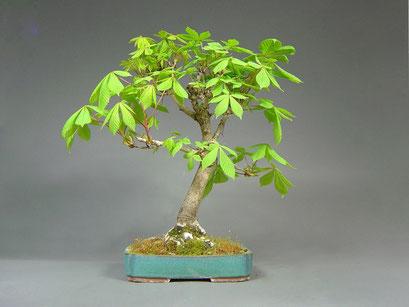 Rosskastanie, Aesculus, Outdoor - Bonsai, Freilandbonsai