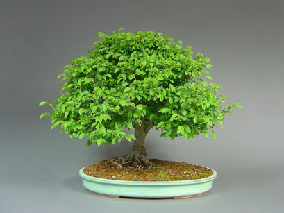 Jap. Zelkove, Zelkova serrata, Solitär, Outdoor - Bonsai, Freilandbonsai